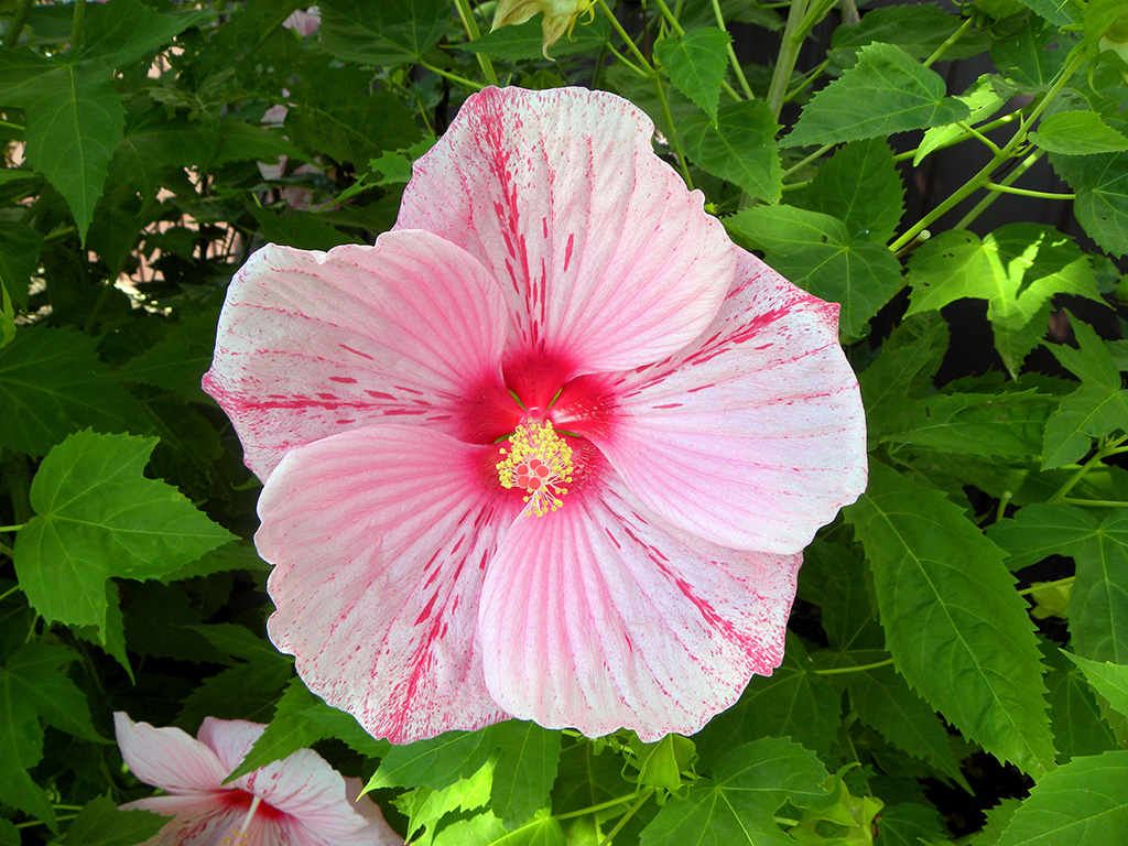 glamorous-perennial-hibiscus-01