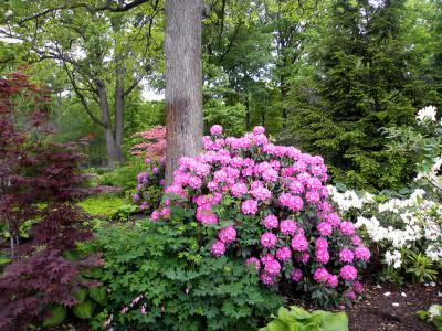 Azaleas In A Landscape Design